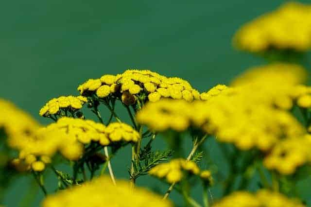 Helichrysum Italicum Essential oil for neuropathy foot pain